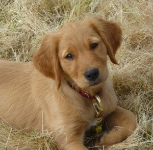 Labrador and Golden Retriever Puppies